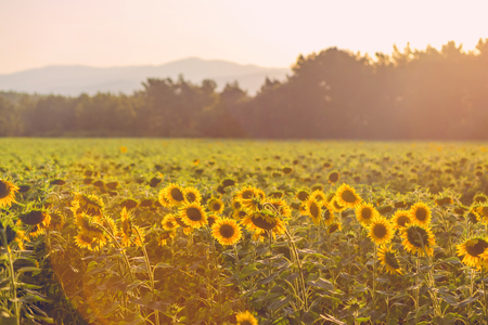 field of sunflowers at sunset. photo tinted warm with shallow depth of field Standard-Bild - 105302278