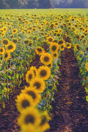 field of sunflowers at sunset. photo tinted warm with shallow depth of field Stock Photo