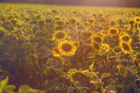 field of sunflowers at sunset. photo tinted warm with shallow depth of field Standard-Bild - 105302282