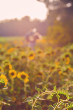 field of sunflowers at sunset in blur with bokeh effect Standard-Bild - 105302284