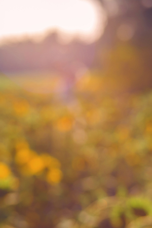 field of sunflowers at sunset in blur with bokeh effect