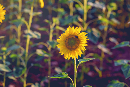 Sunflower with bee at sunset  close– up. photo tinted warm with shallow depth of field Standard-Bild - 105302294