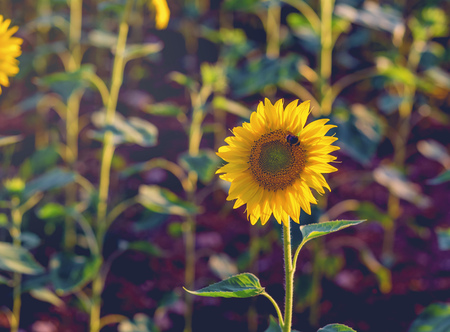 Sunflower with bee at sunset close– up. photo tinted warm with shallow depth of field