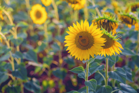 Sunflower with bee at sunset close–up. photo tinted warm with shallow depth of field Standard-Bild - 105302299