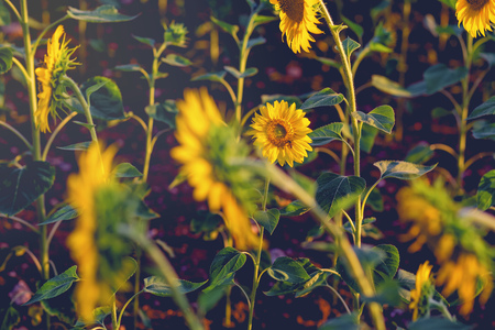 Sunflower with bee at sunset  close–up. photo tinted warm with shallow depth of field