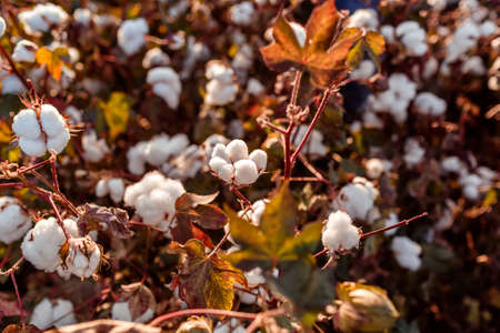 Blooming cotton at evening in the field near Izmir, Turkey. Shallow depth of field Imagens