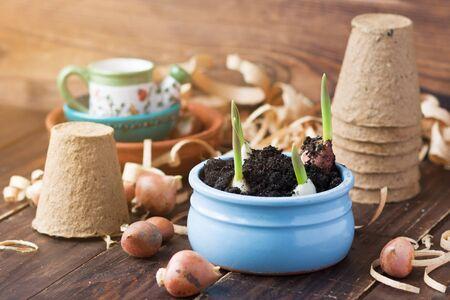 Peat pots, shavings and tulip bulbs. Landing of seedling. Spring