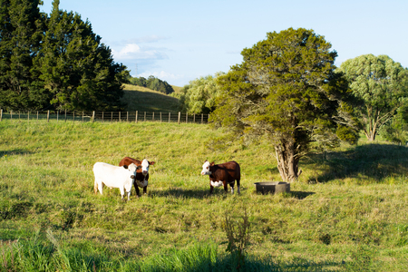 Three young cows looking straight into the camera from a lush green pasture of grass