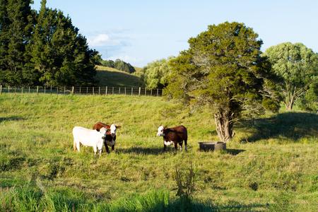 Tres vacas jóvenes mirando directamente a la cámara desde un exuberante pasto verde de hierba