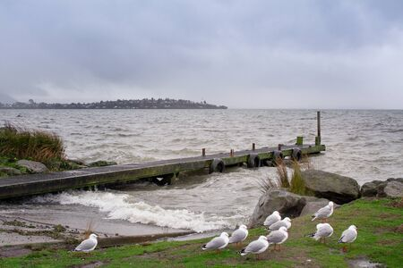 A flock of seagulls on the grassy bank of Lake Rotorua in a thunderstorm