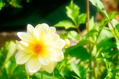 Beautiful yellow dahlia flower basking in sunlight. Close-up. Selective focus