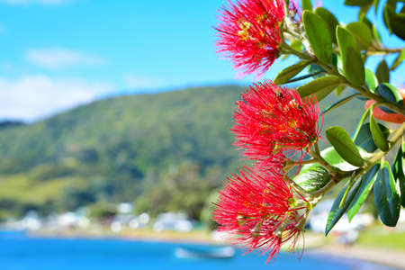 Bright red flowers of Pohutukawa tree blossom against tranquil sea