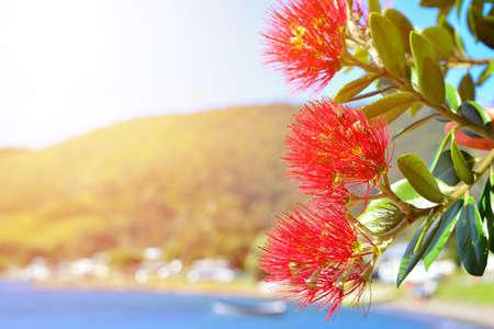 Bright red flowers of Pohutukawa tree blossom basking in golden sunlight.