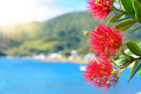 Honey bees over Pohutukawa red flowers blossom on a fine summer day by the sea.