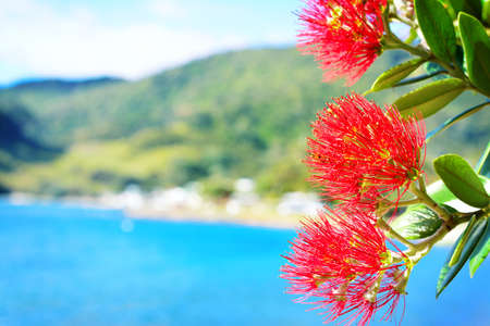 Close-up of Pohutukawa red flowers blossom against tranquil azure sea