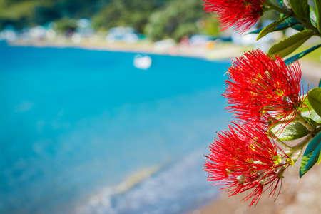 Stunning crimson blossom of Pohutukawa tree over tranquil bay water Zdjęcie Seryjne