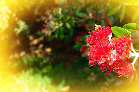 Honey bees collecting pollen on red flowers of Pohutukawa tree