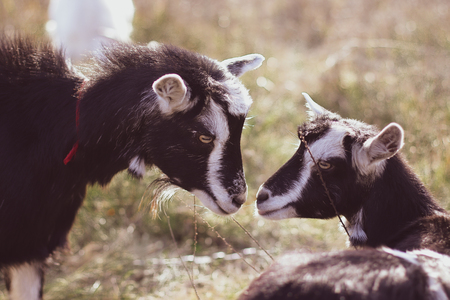 two goats stare at each other. close-up. Big goat farm. Imagens
