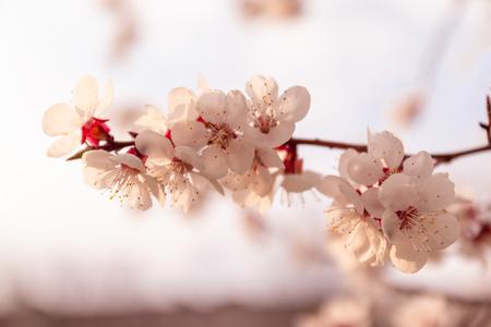 Albero primaverile in fiore. Sfondo floreale di primavera. Formato panoramico Archivio Fotografico