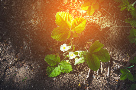 Young strawberry plant growing in fruit garden on a sunny day