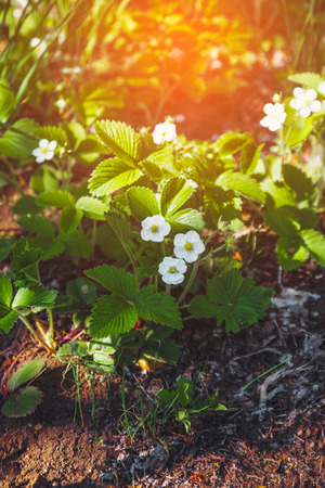 Flower of strawberries in the garden.