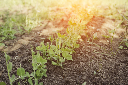 Snow pea sprouts growing at a vegetable garden