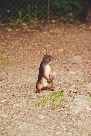 Black fluffy squirrel with black eyes jumps on the ground and searches for food, looking into camera