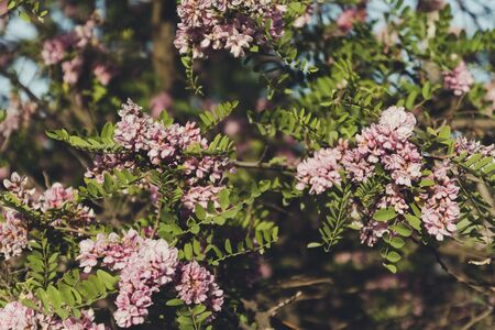 Blooming pink acacia in the summer. Spring concept