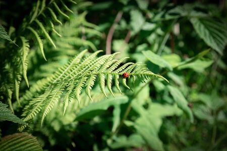 Close up dark green fern in the forest. Natural floral background. Fresh natural leaves pattern and ladybug. Banco de Imagens