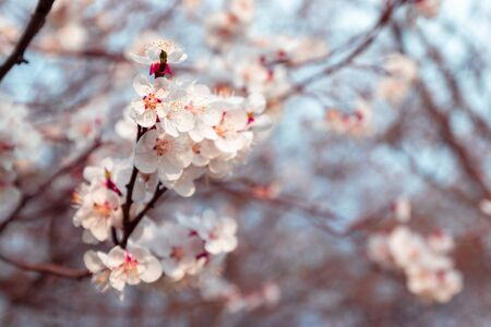 Spring branches of blossoming cherry macro with soft focus. Beautiful floral image of spring nature panoramic view.