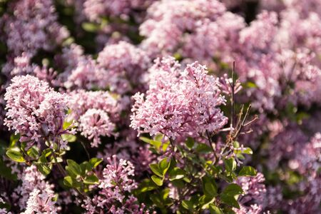 Spring flowers of lilac in the garden, spring background Stok Fotoğraf