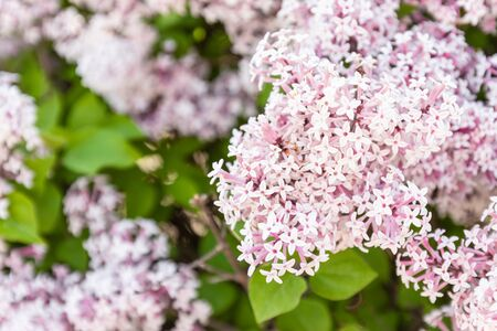 Spring branch of lilac in bloom with violet flowers on green leaves in the garden Stok Fotoğraf