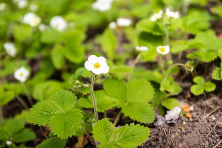 Strawberry sprouts growing in the ground. In spring, strawberry bushes sprout in the garden. Stock Photo