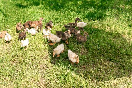 Little geese on the grass. A flock of little geese grazing in green grass.