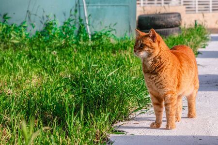 Beautiful red cat with yellow eyes stands in the grass on a sunny day