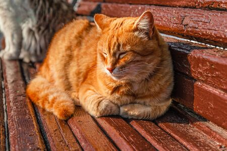 Domestic ginger cat with paws resting on wooden bench in sunlight