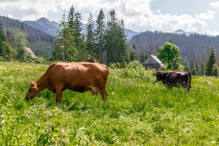 Brown cows graze on a green meadow in the summer. Large livestock farm