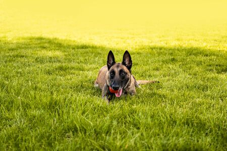 Adult belgian shepherd dog lies on the grass and rests on a summer day. Training and training concept