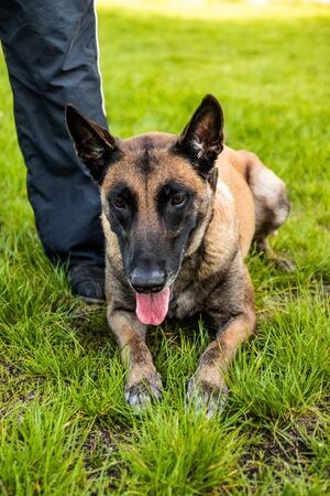 Belgian shepherd dog lies on the grass and rests on a summer day. Training and training concept