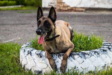 Portrait of adult belgian shepherd dog lies on the grass and rests on a summer day. Training and training concept