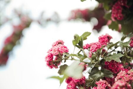 Beautiful pink flowers on branches in blue sky. Фото со стока - 130911761
