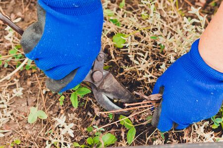Gardening on farm in autumn or spring. Gardener cuts dry branches of pruning shears. Pruning bushes.