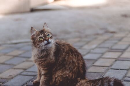 Fluffy brown cat with green eyes sitting on the street. Bird hunting.