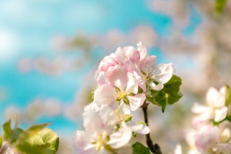 Closeup of branches of apple blossom on a blue background, blurred background, close up, selective focus