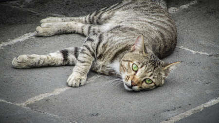 striped yard cat lies on the asphalt and looks at the camera