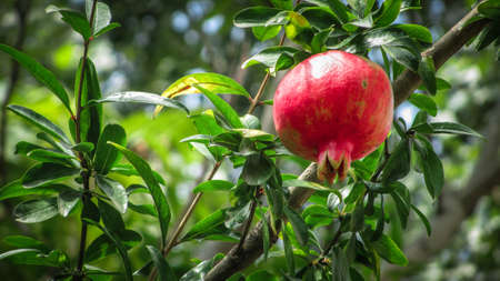 Ripe pomegranate fruit on tree branch in the garden in summer