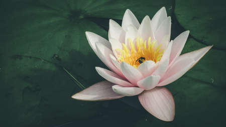 Beautiful pink water lily and green leaves on a river in park