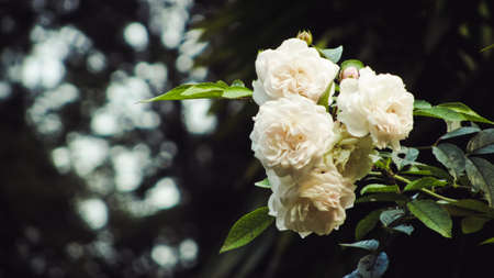White roses on the bush on a tree branch
