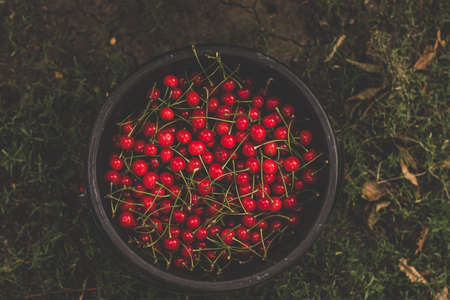 Flat lay fresh red ripe cherry in a bucket. Selective focus Standard-Bild
