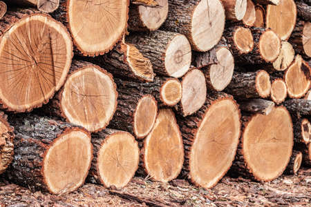 Wooden logs of pine woods in the forest, stacked in a pile Standard-Bild
